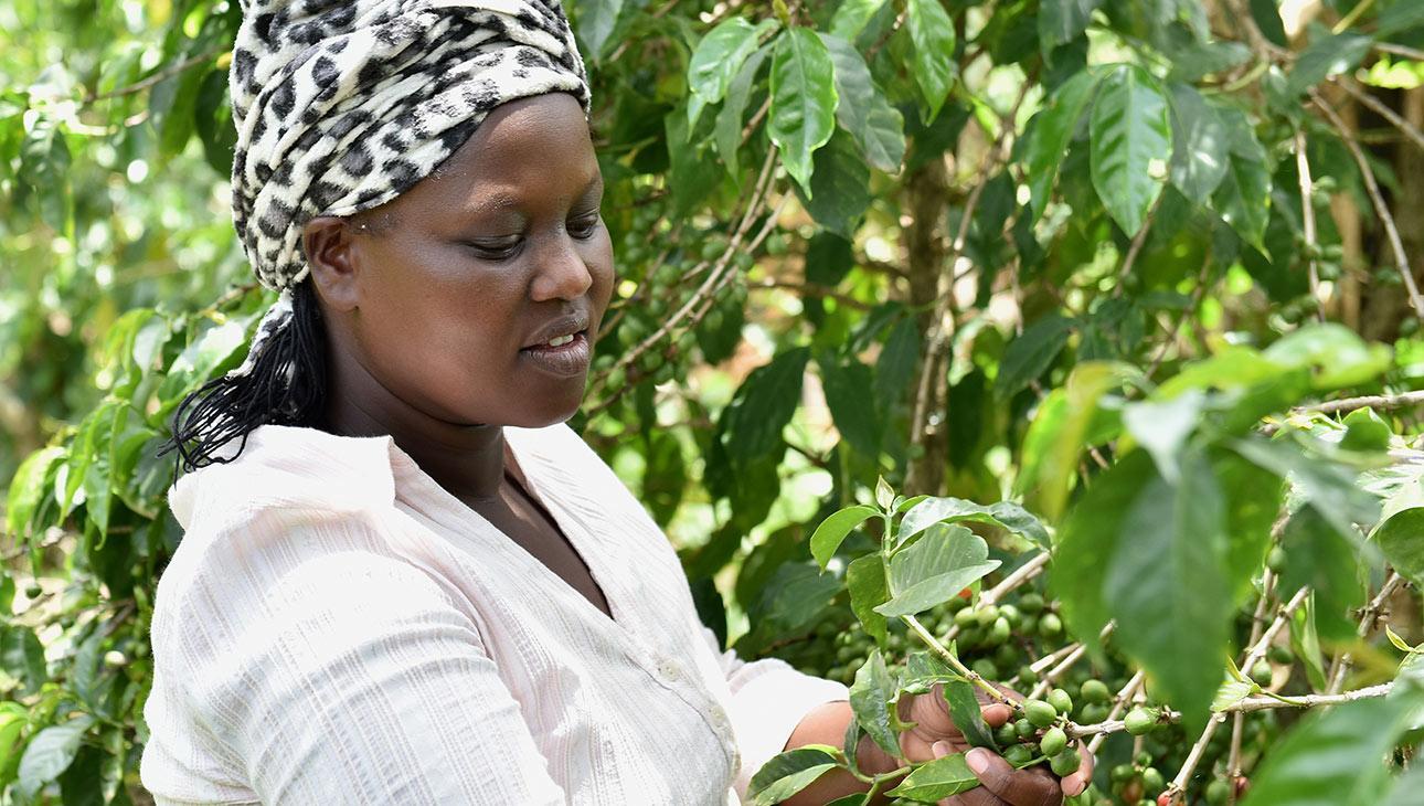 Kenialainen Zeddy Rotich työskentelee Reilun kaupan kahvinviljelijänä.