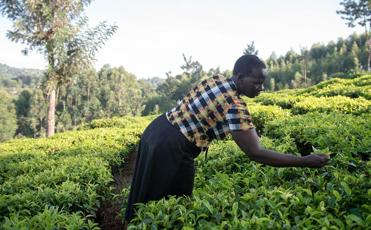 Kenialaisnainen korjaamassa satoa