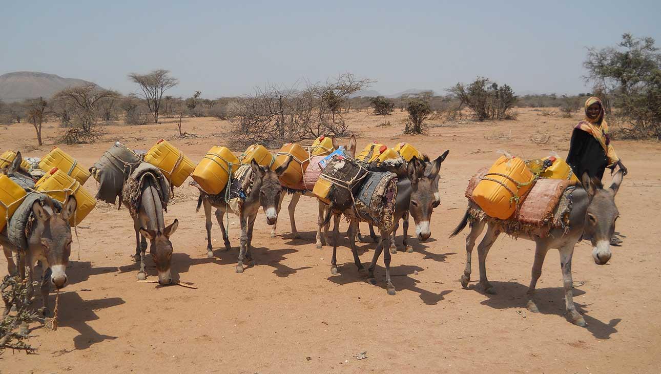 Aaseja selässään vedekeruukanistereita kulkemassa puoliaavikolla Somalimaassa.